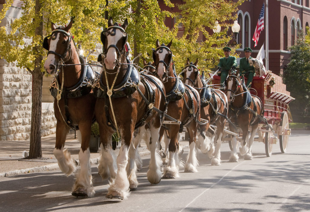 Anheuser-Busch's Budweiser Clydesdales are an enduring symbol of Budweiser's heritage, tradition and commitment to quality. The hitch team's upcoming visit to St. Louis is one of hundreds it will make this year. The Budweiser Clydesdales date back to April 7, 1933, when they delivered a case of Budweiser to the White House in celebration of the repeal of prohibition of beer. (Courtesy image)